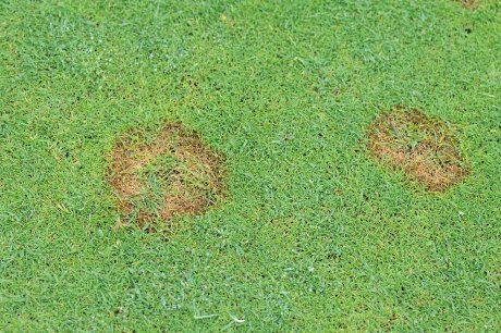 fusarium on golf green 1